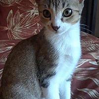Domestic Shorthair Kitten for adoption in Delray Beach, Florida - Cash