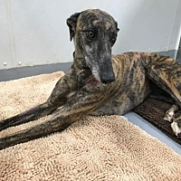 Adopt A Pet :: Gazelle - Kansas City, MO