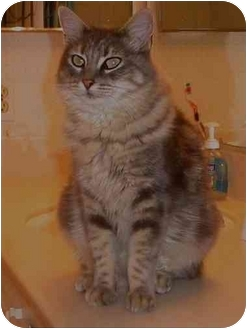 Maine Coon Cat for adoption in San Diego/North County, California - ~SUGAR~MAINECOON