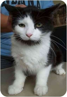 Domestic Mediumhair Kitten for adoption in North Judson, Indiana - Daisy the Cat