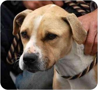Boxer/Labrador Retriever Mix Dog for adoption in Inman, South Carolina - Leslie
