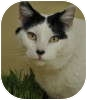 Domestic Shorthair Cat for adoption in Portola, California - Oreo