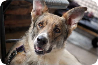 Collie/Akita Mix Dog for adoption in Phoenix, Arizona - Darcy