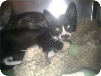 Domestic Shorthair Kitten for adoption in Staten Island, New York - The Three Brothers