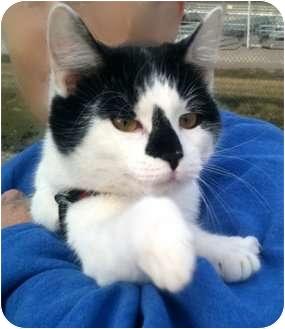 Domestic Shorthair Cat for adoption in Sullivan, Missouri - Molly