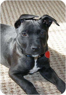 Pointer/Shepherd (Unknown Type) Mix Puppy for adoption in Los Angeles, California - WHISTLER