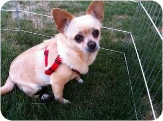 Chihuahua Mix Dog for adoption in Mesa, Arizona - Bullet