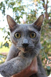 Calico Cat for adoption in Santa Monica, California - Lana