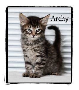 Domestic Shorthair Kitten for adoption in Warren, Pennsylvania - Archy