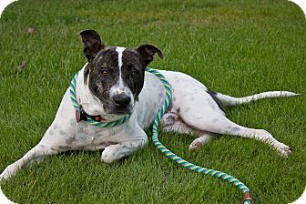 Staffordshire Bull Terrier Mix Dog for adoption in Chattanooga, Tennessee - Alfie