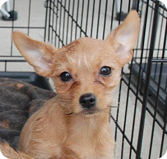 Chihuahua/Yorkie, Yorkshire Terrier Mix Puppy for adoption in Derry, New Hampshire - Petunia