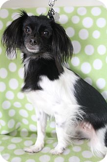 Papillon Mix Dog for adoption in Bedminster, New Jersey - Zoey