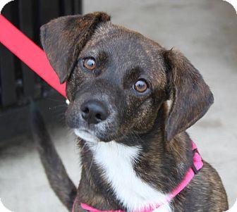 Terrier (Unknown Type, Medium)/Beagle Mix Dog for adoption in Staunton, Virginia - Marlene