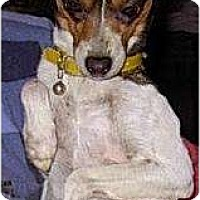 Adopt A Pet :: Pippa - Lucerne Valley, CA