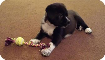 Labrador Retriever/Border Collie Mix Puppy for adoption in Marlton, New Jersey - Panda Bear