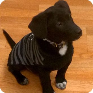 Border Collie/Retriever (Unknown Type) Mix Puppy for adoption in Palatine, Illinois - O'Malley