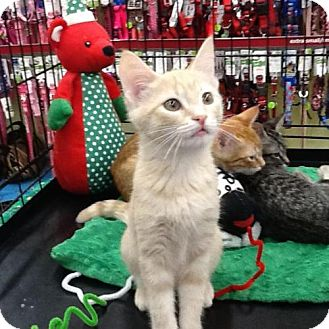 Domestic Shorthair Kitten for adoption in San Antonio, Texas - Hank