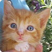 Adopt A Pet :: Robin Goodfellow - Stanford, CA