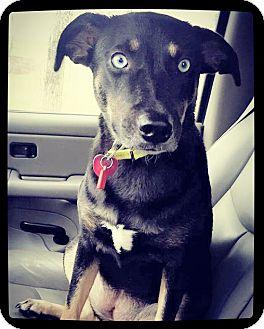 Shepherd (Unknown Type)/Catahoula Leopard Dog Mix Dog for adoption in Grand Bay, Alabama - Breezy