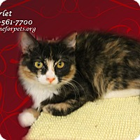 Calico Kitten for adoption in Monrovia, California - A Sister Pair: SCARLET & Tara