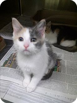 Domestic Shorthair Kitten for adoption in Northfield, Ohio - Shanna