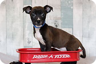 Terrier (Unknown Type, Small) Mix Puppy for adoption in Waldorf, Maryland - Terry