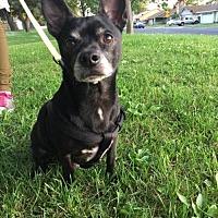 Chihuahua Dog for adoption in Los Banos, California - Blackjack