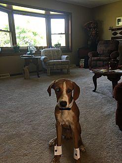 Hound (Unknown Type)/Hound (Unknown Type) Mix Puppy for adoption in Monroe, Michigan - Walter