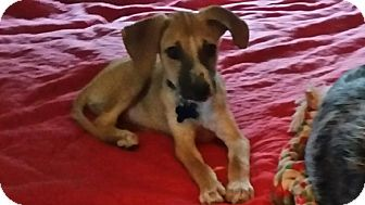 Beagle/Shepherd (Unknown Type) Mix Puppy for adoption in Middlesex, New Jersey - Osiris