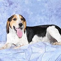 Adopt A Pet :: Dahlia - Cary, NC