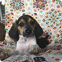 Adopt A Pet :: Virgil - Russellville, KY