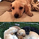 Adopt A Pet :: Gold N Lab Frannie