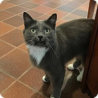 Domestic Longhair Cat for adoption in Atlanta, Georgia - Dean Martin