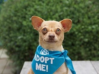 Dachshund/Chihuahua Mix Dog for adoption in Pacific Grove, California - Phoebe