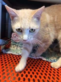 Domestic Shorthair/Domestic Shorthair Mix Cat for adoption in Savannah, Tennessee - Skimp