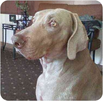 Weimaraner Dog for adoption in Eustis, Florida - Rufus