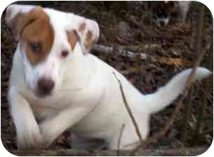 Hound (Unknown Type)/Fox Terrier (Smooth) Mix Puppy for adoption in Wake Forest, North Carolina - Besin
