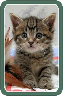 Domestic Shorthair Kitten for adoption in Sterling Heights, Michigan - Frito - ADOPTED!
