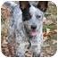Photo 1 - Australian Cattle Dog Puppy for adoption in Toledo, Ohio - COLIN~FeeReduced