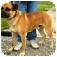 Photo 2 - Mastiff Mix Dog for adoption in Osseo, Minnesota - Mike