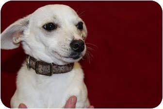 Chihuahua/Corgi Mix Puppy for adoption in Broomfield, Colorado - Sassy