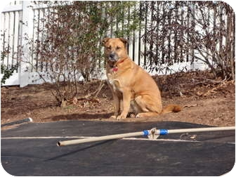 Akita Mix Dog for adoption in East Hartford, Connecticut - Bee Gee in CT