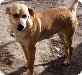 Rhodesian Ridgeback Mix Dog for adoption in Glenpool, Oklahoma - Lightening