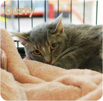 Domestic Shorthair Cat for adoption in Merrifield, Virginia - Dusty