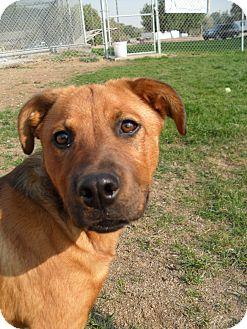 Shepherd (Unknown Type) Mix Dog for adoption in Jerome, Idaho - Rose #5178