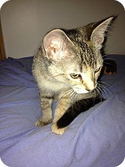 Domestic Shorthair Kitten for adoption in Elliot Lake, Ontario - Libby