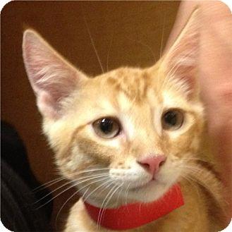 Domestic Shorthair Kitten for adoption in Weatherford, Texas - Jim Bob