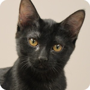Domestic Shorthair Kitten for adoption in Naperville, Illinois - Sam