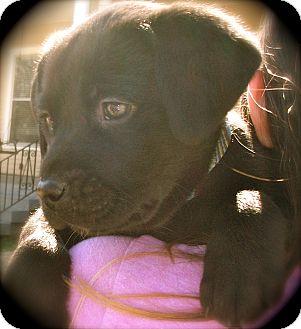 Labrador Retriever/Spaniel (Unknown Type) Mix Puppy for adoption in CHAMPAIGN, Illinois - ABIGAIL