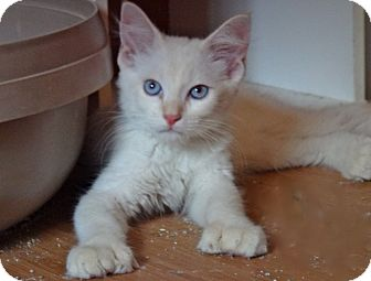 Polydactyl/Hemingway Kitten for adoption in Escondido, California - Huck Fin